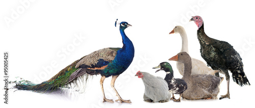 Stampa su Tela group of poultry