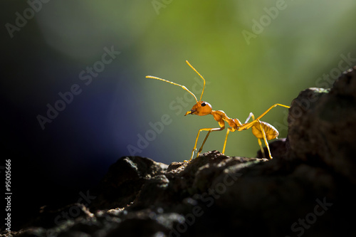 Red ant, Banten, Indonesia
