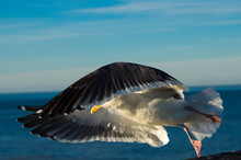 Close-up Of A Seagull In Fligh...