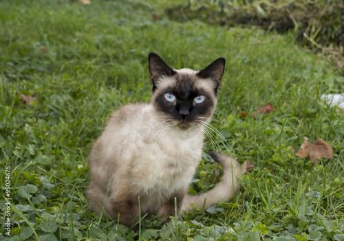 Fotografía  Siamese Cat Outside