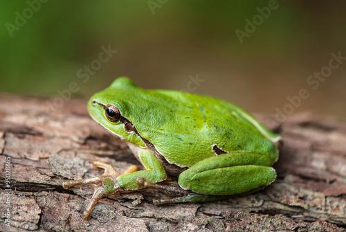 Küchenrückwand aus Glas mit Foto Frosch green tree frog