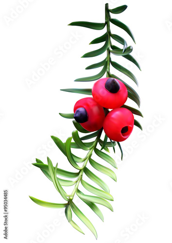 Obraz na płótnie Taxus (yew) twig