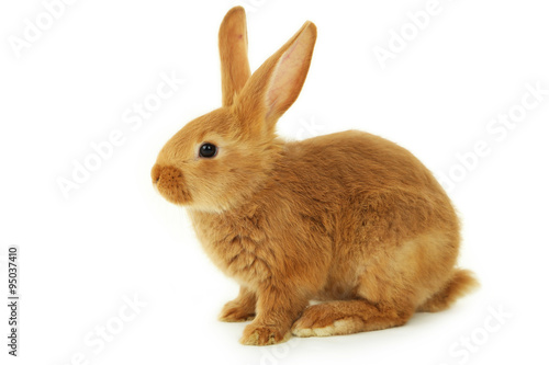 Foto Young red rabbit isolated on white