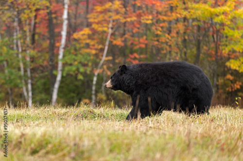 Fotografie, Tablou  Adult Female Black Bear (Ursus americanus) Walks Left