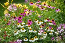 Coneflowers In Bloom In A Summer Backyard Garden Outside Of A Su