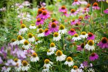 Coneflowers In Bloom In A Summer Backyard Garden