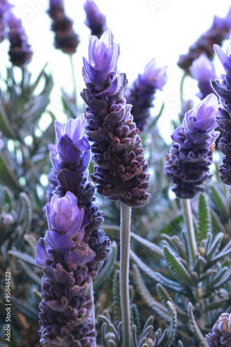 Lavender blooms against white - 95046422