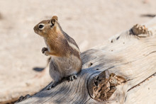 Golden-Mantled Ground Squirrel In Bryce Canyon National Park, Utah