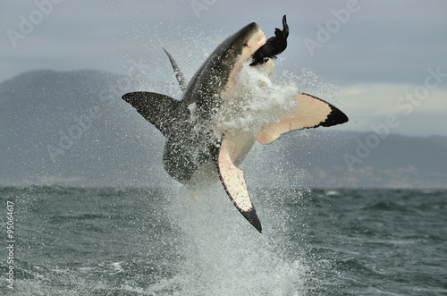 Fotografie, Tablou  Great White Shark (Carcharodon carcharias) breaching in an attack