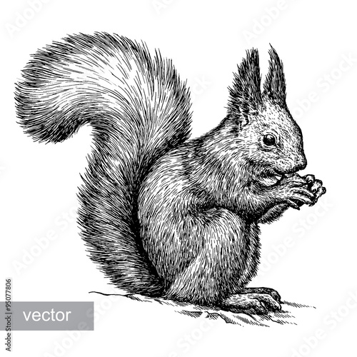 Fotografía  engrave squirrel illustration