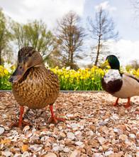 Funny Ducks In Spring In The N...