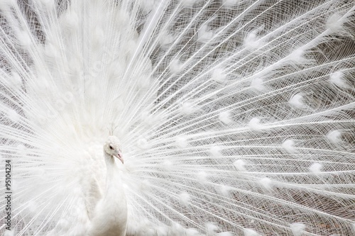 In de dag Pauw White peafowl