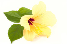 One Yellow Hibiscus Flower Closeup On White Background