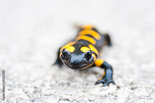 obraz dibond Black yellow spotted fire salamander