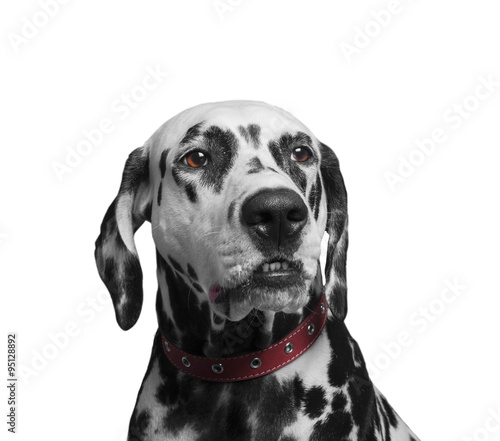 Poster Chien Portrait of a black and white spotted dalmatian dog