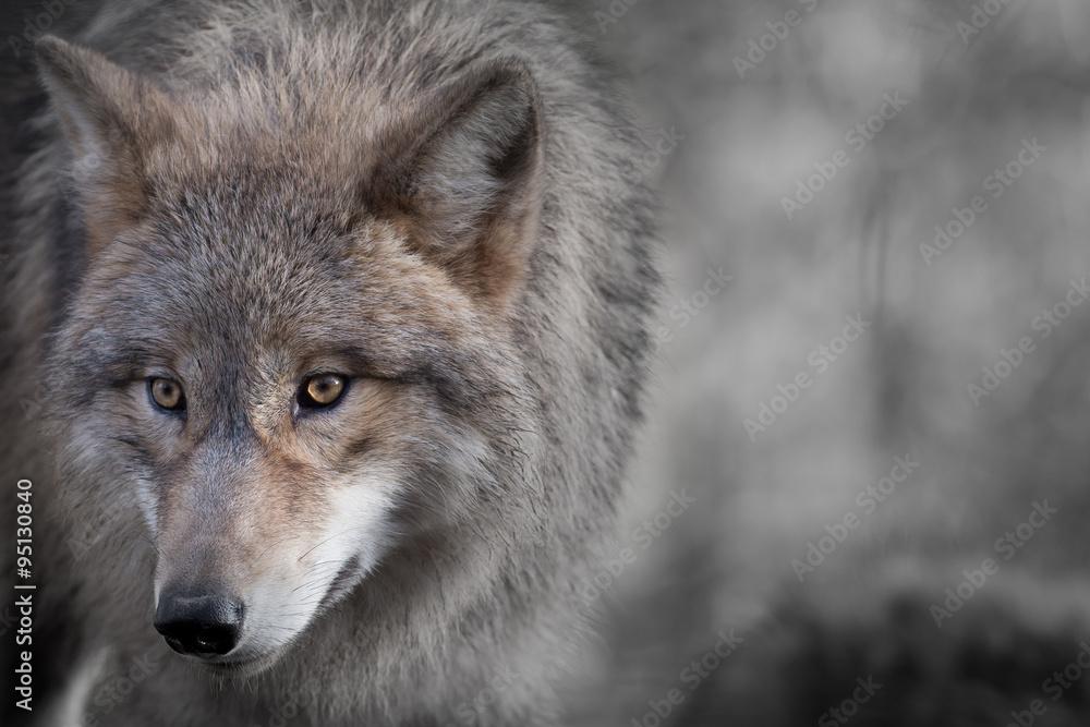 Fotografía Grauer retrato del lobo 4 | Europosters.es