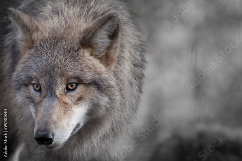 Photo  Grauer Wolf Portrait 4