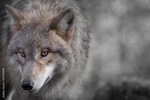 Foto op Plexiglas Wolf Grauer Wolf Portrait 4