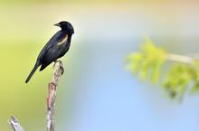 Red-shouldered Blackbird (Agelaius Assimilis)