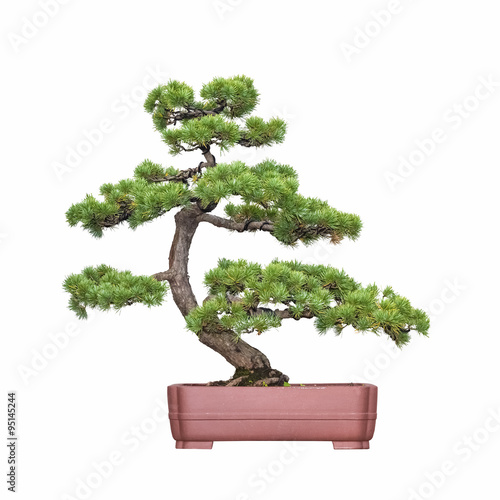 Photo sur Aluminium Bonsai bonsai tree of pine