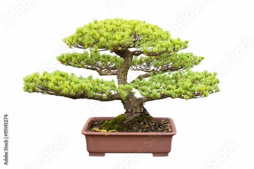 Aluminium Prints Bonsai bonsai tree of five needle pine