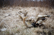 Death Concept - Animal Bones With Horns Lying In Dead Grass