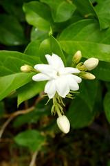 Obraz na płótnie Canvas White Jasmine Flower
