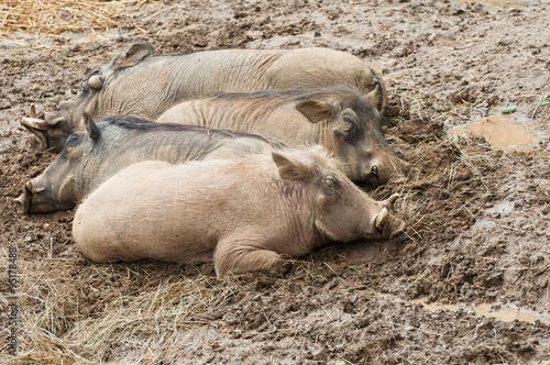 Photo  Warthogs