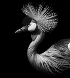 Crane Crowned - 95178897