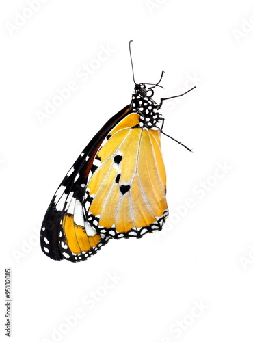 Fotografie, Obraz  Monarch butterfly on white background