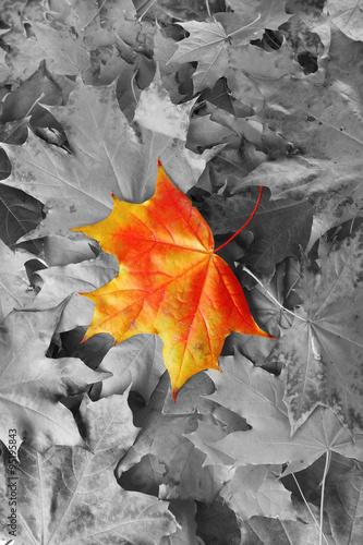 pomaranczowy-lisc-klonu-wsrod-czarno-bialych-lisci-jesienia