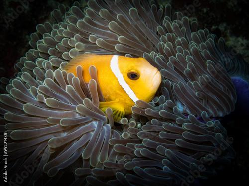 Plakat  Anemone Fish ( clown Fish)