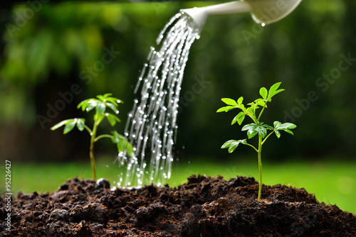 Poster Vegetal Sprouts watered from a watering can( focus on right plant )
