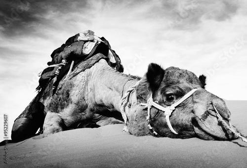 Fotobehang Zandwoestijn Animal Camel Desert Resting Tranquil Solitude Concept