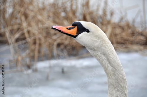 Fotografie, Obraz  Portrait of a white swan winter