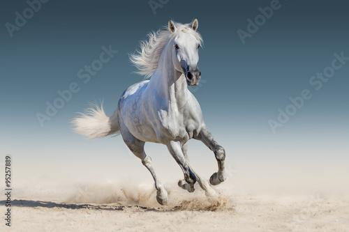 Obraz Biały koń w galopie - fototapety do salonu