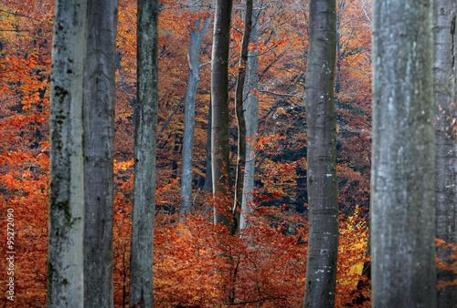 Jesień w Bukowym Lesie - 95272090
