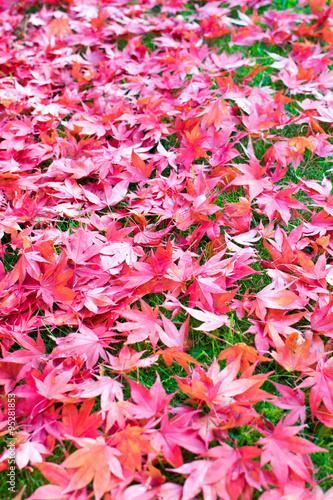 Fotografie, Obraz  Rotahorn Blätter im Herbst