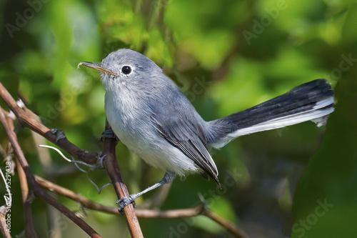 Photo  Blue-gray Gnatcatcher