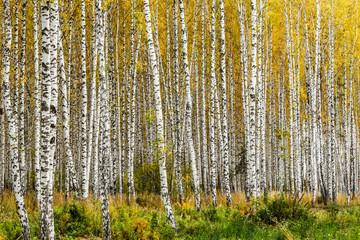 FototapetaEarly autumn birch grove