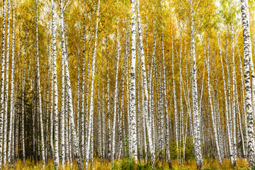 FototapetaEarly autumn birch grove
