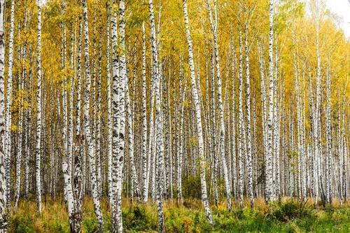 Poster de jardin Bosquet de bouleaux Early autumn birch grove