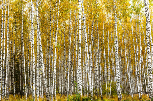 Autocollant pour porte Bosquet de bouleaux Early autumn birch grove