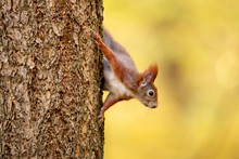 Squirrel Look From Tree