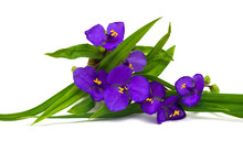 Tradescantia Flowers With Leaves