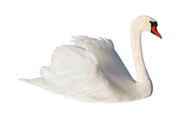 Fluffy white swan.