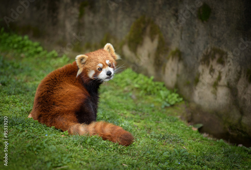 Fotografía Red panda sitting at the bottom of a wall