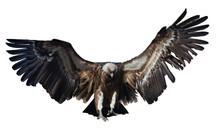 Flying  Vulture. Isolated Over White