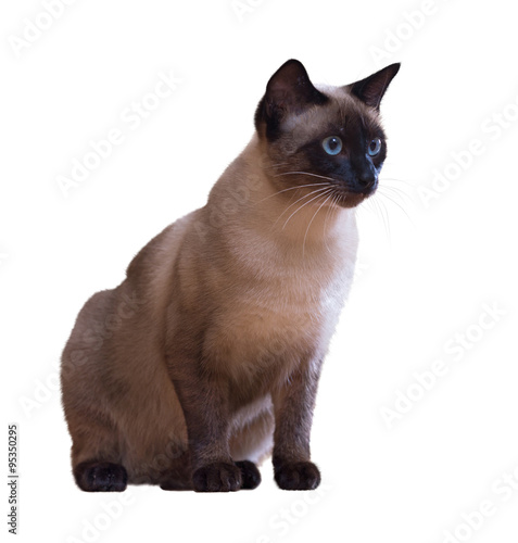 Fotografía  Siamese cat, isolated on white