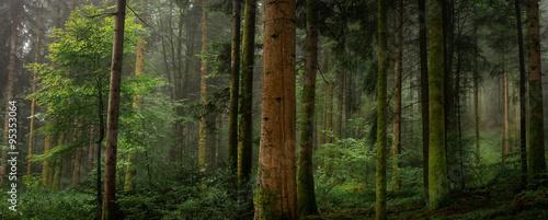 plakat Dans un sous bois tronc de sapin avec et sans mousse